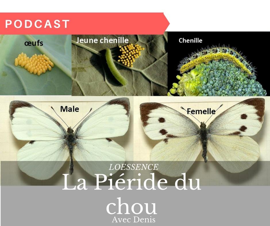 Podcast De Denis Le PermaculteurAu Secours Y A La Piéride Du Chou